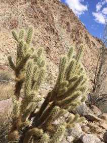 Cholla looking very thorny.
