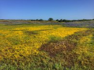 The goldfields turned parts of the reserve completely yellow. Hence the name.