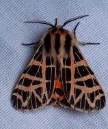 Ornate tiger moth (Apantesis ornata).