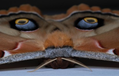 A polyphhemus moth in its defensive position. This is what we were after in the Arboretum but it never showed.