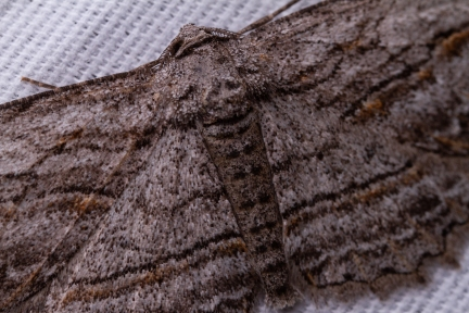 Moth wings hold much more detail than most people think, making them even more amazing creatures.