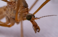 This crane fly (Family: Tipulidae) was one of many that came to the sheet. They are very fragile and tend to lose their legs often.